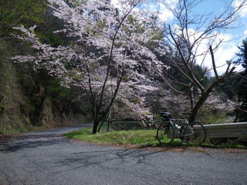 三国林道の桜並木