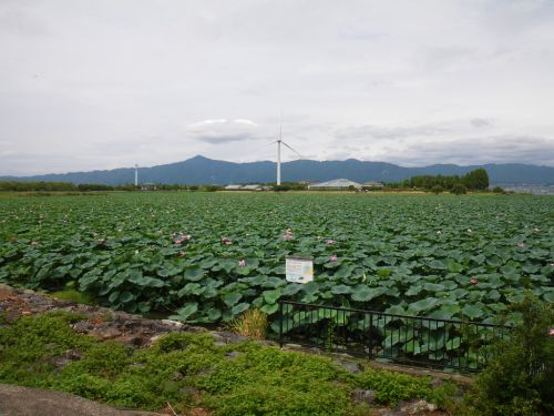 琵琶湖の蓮群生地