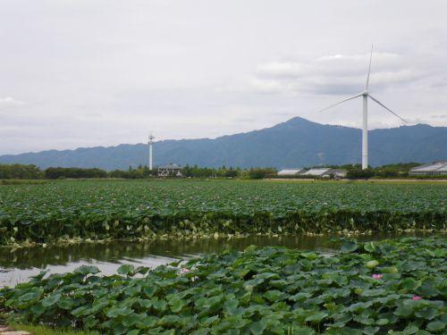 琵琶湖の蓮