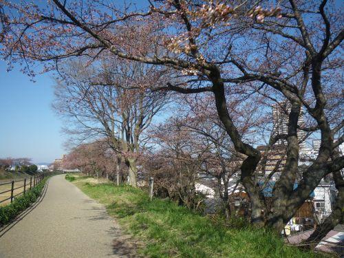 草津川の桜